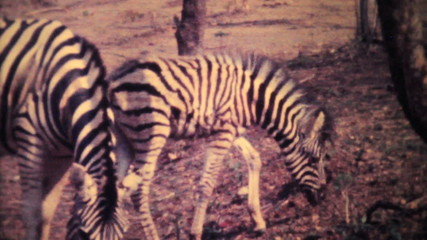 Zebras Roaming Through Game Park-1979 Vintage 8mm film
