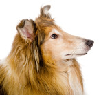Head rough collie - Scottish shepherd (lassie). sable color