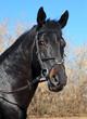 Portrait of a black stallion