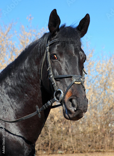 Portrait of a black stallion