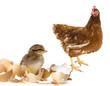 newborn chicken and her mother hen