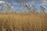 golden reed beds