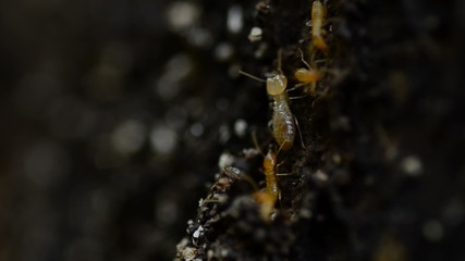 Termites workers running in a tunnel on tree trunk