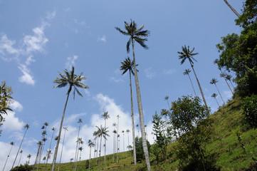 Palma de cera - Salento (Colombia)