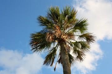 sabal palm against blue sky