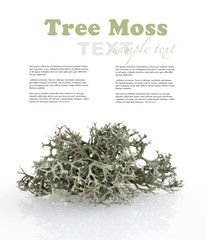 Tree moss from fir and pine trees