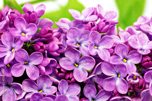 Fotobehang Macro Beautiful Bunch of Lilac close-up