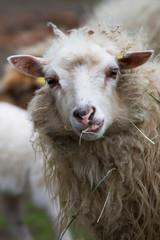 Lässiges Schaf
