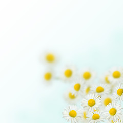 Daisies on the blurred backgound