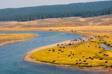 Bison Paradise in Yellowstone National Park, USA