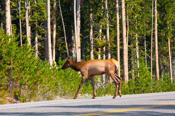 Elk cross the road in Yellowstone National Park
