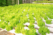 soilless cultivation of vegetables