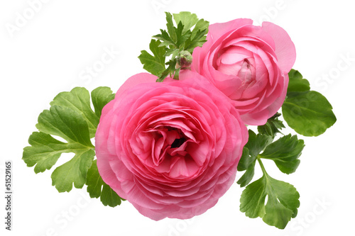 Pink Persian Buttercup Flower