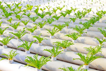Soilless cultivation of green vegetable seedlings in a botanical