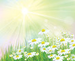 Vector of sunny background with white daisies.