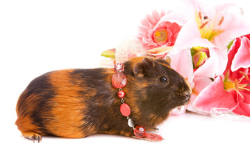 guinea pig  about flowers and, isolated