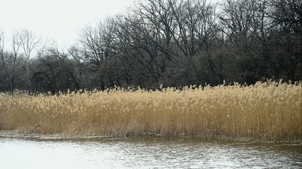 Reeds at the edge of a calm river