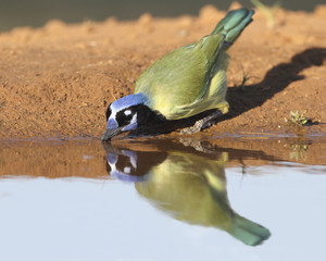 Green Jay (Cyanocorax yncas) Drinking at a Pond - Texas