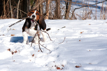 basset hound playing fetch