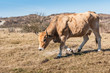 Grazing light brown cow with horns
