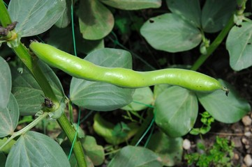 Broad bean pod on plant © Arena Photo UK