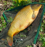 Catching fish.  The common carp in a landing net.