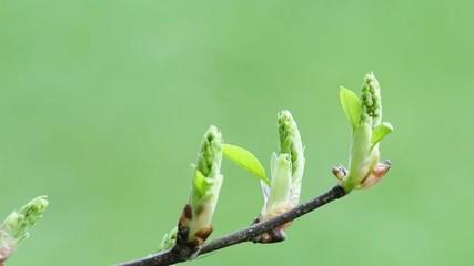 Blattknospe im Frühling