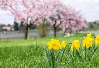 Narzissen mit blühenden Mandelbäumen im Hintergrund