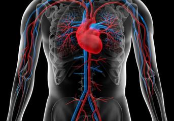 Blutkreislauf SW