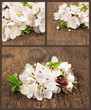 Apricot blossom. Set of spring flowers