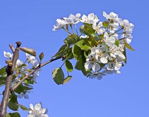 ramo di pero fiorito