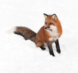 Red Fox (Vulpes vulpes) Sits Looking Left in Snow