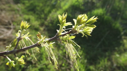 Buds with hanging stamens