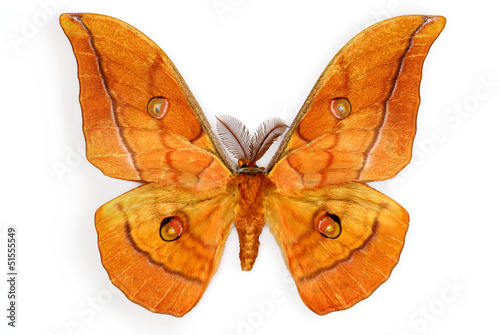 Silk Moth Antheraea yamamai, introduced in Europe for silk