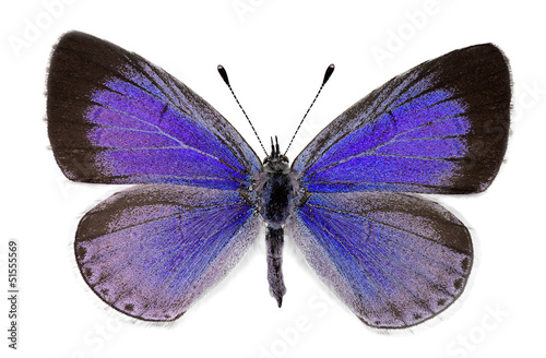 Holly blue (Celastrina argiolus), female