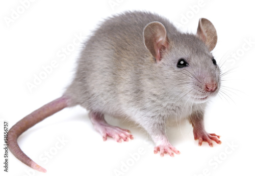 grey rat isolated on white