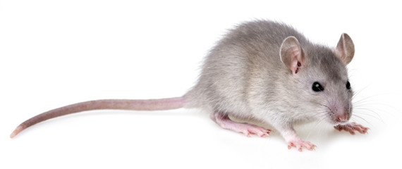 little rat on a white background