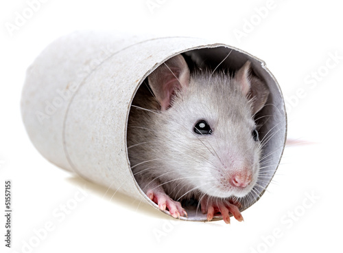 little mouse  playing - hiding in a paper roll
