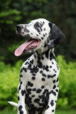 Gorgeous dalmatian puppy with long tongue
