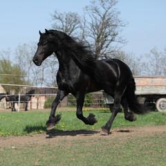 Gorgeous friesian stallion with long mane running on pasturage