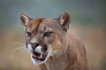 Lion open mouthed