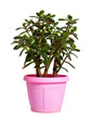 jade tree in  pot. Isolated on white