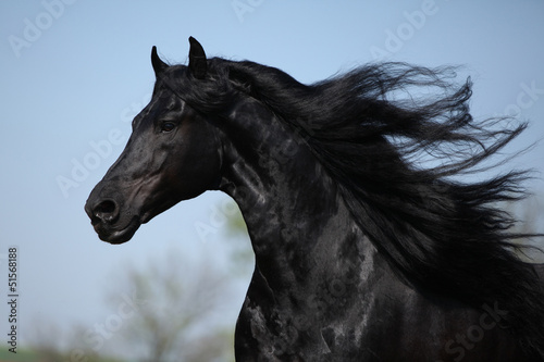 Gorgeous friesian stallion with flying long hair