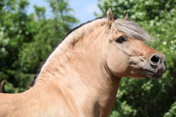 Beautiful fjord pony stallion