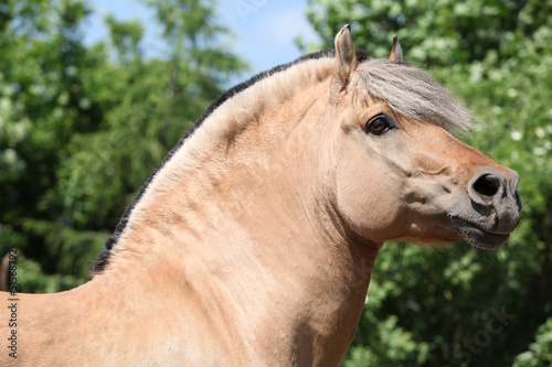 Beautiful fjord pony stallion