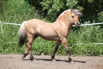 Beautiful fjord pony stallion in paddock