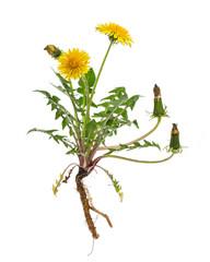 Löwenzahn (Taraxacum officinale) - Ganze Pflanze auf weißem Hi