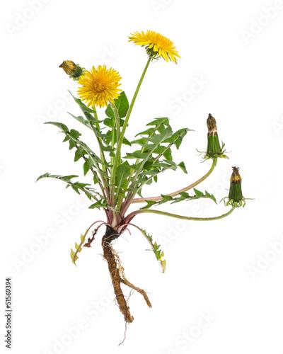 Leinwandbild Motiv Löwenzahn (Taraxacum officinale) - Ganze Pflanze auf weißem Hi