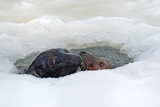 Two grey seals (Halichoerus grypus) emerge from ice-hole