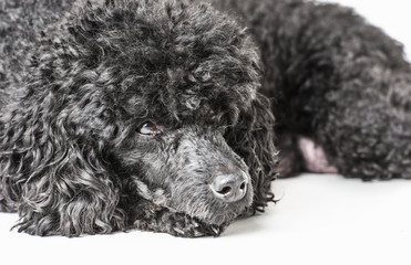 Black poodle isolated on white background